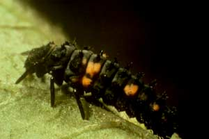 The orange spotted black ladybug larva