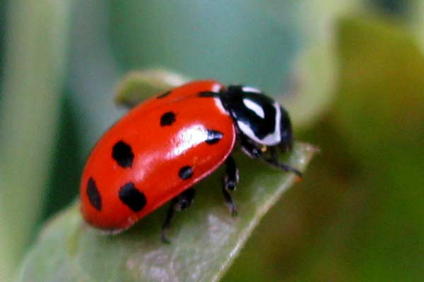 A striking ladybug adult