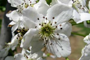 The pear blossom - a sure sign of spring