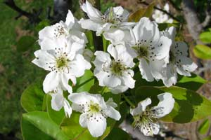 These pear flowers are a rite of spring, just like releasing lacewings in your garden